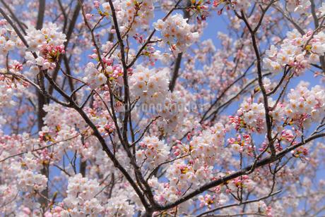 熱海温泉の満開の桜の写真素材 [FYI04105285]