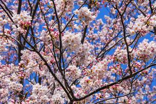 熱海温泉、満開の桜の写真素材 [FYI04105286]