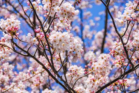 熱海温泉の桜の写真素材 [FYI04105287]