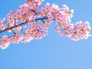 青空の下に咲く梅 花の写真素材 [FYI04105288]