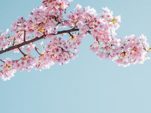 青空の下に咲く梅 花の写真素材 [FYI04105293]