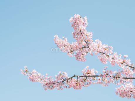 青空の下に咲く梅 花の写真素材 [FYI04105295]