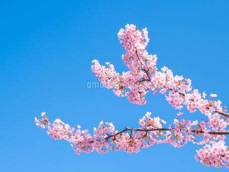 青空の下に咲く梅 花の写真素材 [FYI04105296]