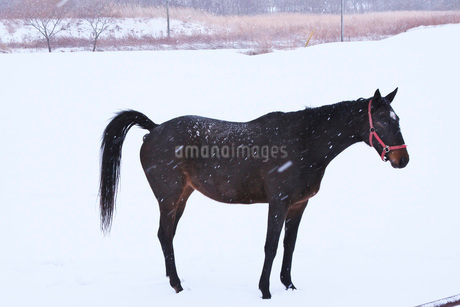 サラブレッドと雪の写真素材 [FYI04105348]