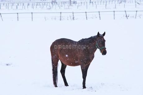 サラブレッドと雪の写真素材 [FYI04105350]