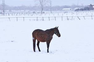 サラブレッドと雪の写真素材 [FYI04105351]