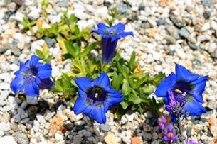 六甲高山植物園,メコノプシス,べトニキフォリアの写真素材 [FYI04105360]