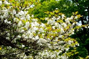 六甲高山植物園,シロヤシオの写真素材 [FYI04105439]