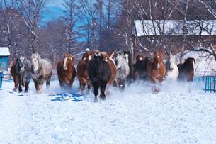 十勝牧場の馬追い運動の写真素材 [FYI04105474]