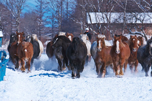 十勝牧場の馬追い運動の写真素材 [FYI04105478]