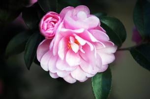 椿・シュンショッコウの花の写真素材 [FYI04105504]