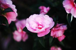 椿・シュンショッコウの花の写真素材 [FYI04105506]