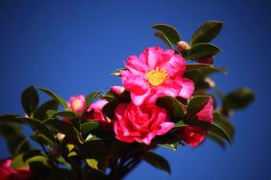 サザンカ・八重咲きの花の写真素材 [FYI04105509]
