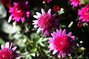 秋菊・ポンポン咲きの花の写真素材 [FYI04105517]