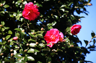 咲き始めたタチカンツバキの花の写真素材 [FYI04105522]