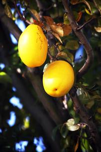 黄色く完熟したカリンの写真素材 [FYI04105526]