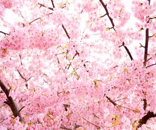 河津桜の写真素材 [FYI04105549]