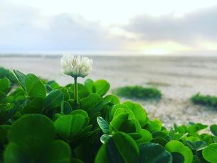 浜辺に咲いた一輪の白い花の写真素材 [FYI04105757]