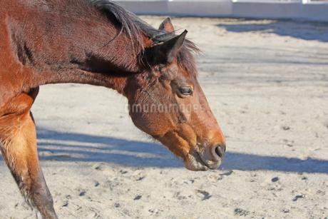 リラックスしている馬の写真素材 [FYI04106019]