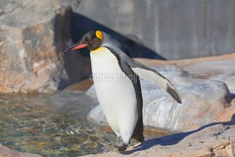 散歩するコウテイペンギンの写真素材 [FYI04106021]