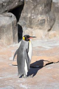 羽を広げるキングペンギンの写真素材 [FYI04106031]