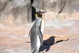 仲間を探すコウテイペンギンの写真素材 [FYI04106032]