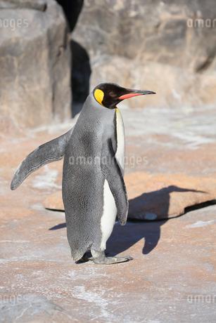 翼を広げたコウテイペンギンの写真素材 [FYI04106033]