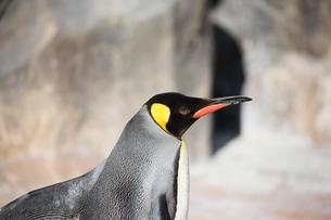キングペンギンの横顔の写真素材 [FYI04106035]