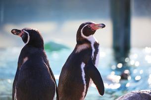 仲良しなペンギンたちの写真素材 [FYI04106036]