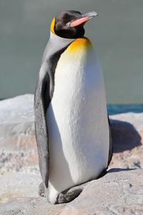 コウテイペンギンの日光浴の写真素材 [FYI04106038]