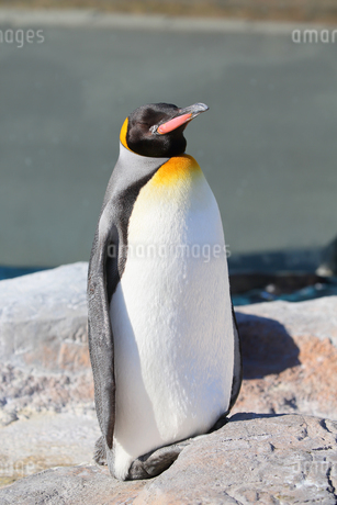 日光浴をして気持ち良さそうなコウテイペンギンの写真素材 [FYI04106040]