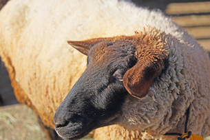 サフォーク種の大きな羊の写真素材 [FYI04106041]