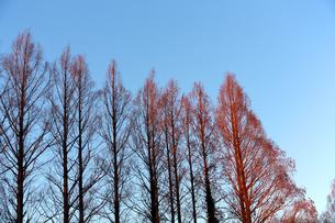 陽の光のグラデーションを帯びた木々の写真素材 [FYI04106046]