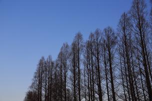 日没に並列する木々の写真素材 [FYI04106049]