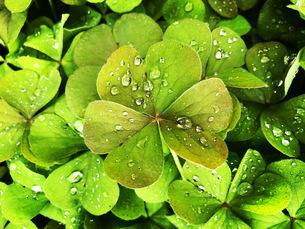 雨上がりの葉の写真素材 [FYI04106051]