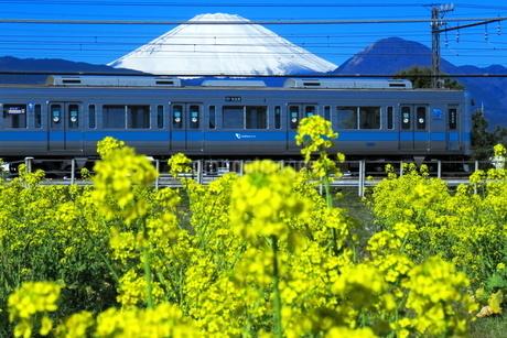 富士山と菜の花と小田急1000形の写真素材 [FYI04106093]