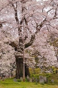 秋山の駒ザクラの写真素材 [FYI04106201]