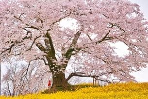 満開に咲く日向の人待ち地蔵桜の写真素材 [FYI04106208]
