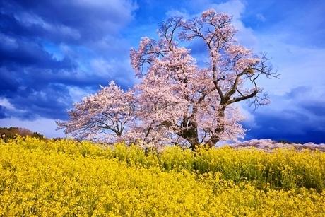 満開に咲く塩ノ崎の大桜の写真素材 [FYI04106215]
