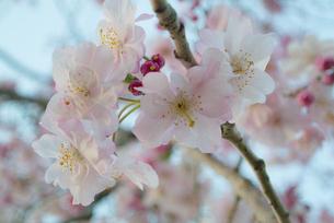 満開の枝垂桜の写真素材 [FYI04106388]