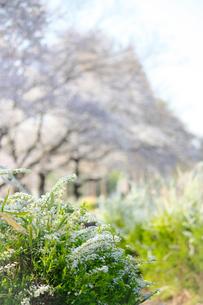満開の桜をバックにしたゆきやなぎの写真素材 [FYI04106390]