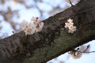苔の生えた太い幹に咲く桜の花の写真素材 [FYI04106391]