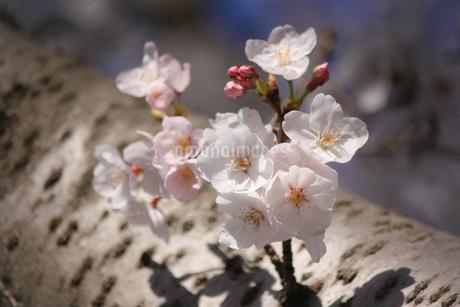 幹に咲く桜の花③の写真素材 [FYI04106393]