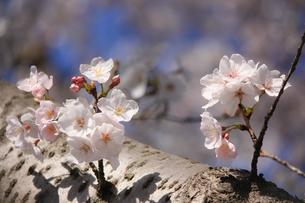幹に咲く桜の花②の写真素材 [FYI04106394]