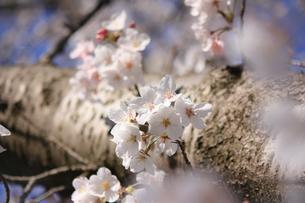 力強い幹と可憐な桜の花の写真素材 [FYI04106395]