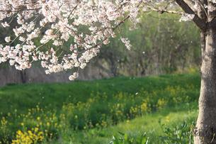 風に散る桜の花の写真素材 [FYI04106396]