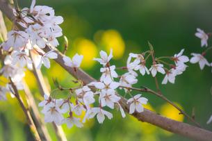 菜の花をバックに咲く桜の花の写真素材 [FYI04106397]