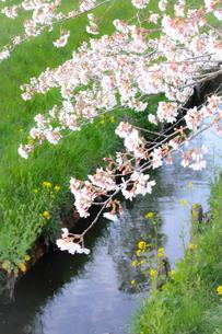 小川の上に咲く満開の桜の写真素材 [FYI04106398]