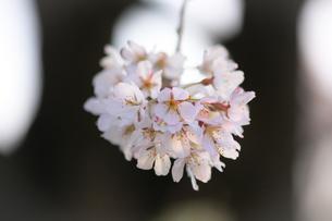 幹からぶら下がった桜の花の写真素材 [FYI04106400]