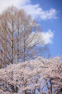満開の桜とメタセコイアの写真素材 [FYI04106402]